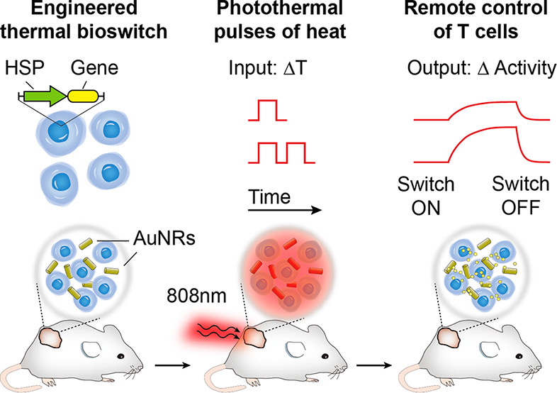 Remote control using heat-triggered gene switches published in ACS Synthetic Biology